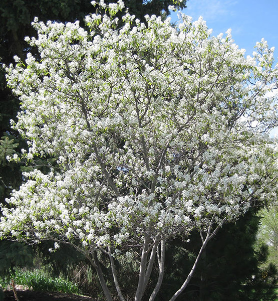 Ирга Ламарка - Amelanchier lamarckii