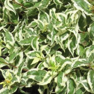 Диервилла сидячелистная «Cool Splash» - Diervilla sessilifolia «Cool Splash»