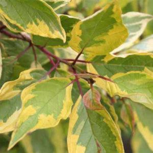 Дерен белый « Spaethii» - Cornus alba «Spaethii»