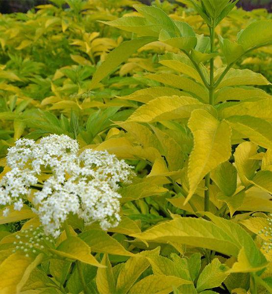 Бузина черная «Aurea» - Sambucus nigra «Aurea»