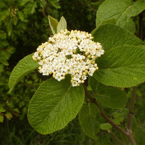 Калина гордовина - Viburnum lantana