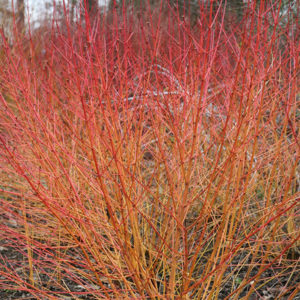 Дерен кроваво-красный «Midwinter Fire» - Cornus sanguinea «Midwinter Fire»