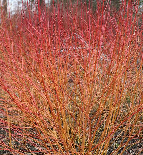 Дерен кроваво-красный «Midwinter Fire» - Cornus sanguinea «Midwinter Fire»