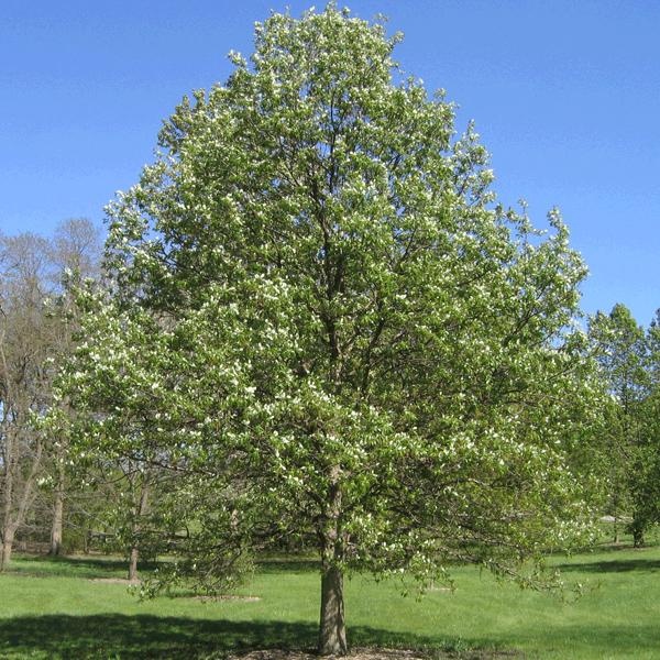 Дуб двухцветный - Quercus bicolor
