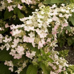Гортензия метельчатая «Angels Blush» - Hydrangea paniculata «Angels Blush»