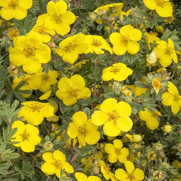 Лапчатка кустарниковая «Goldstar» - Potentilla fruticosa «Goldstar»