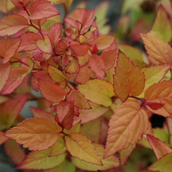Спирея японская «Firelight» - Spiraea japonica «Firelight»