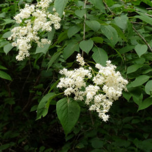 Сирень амурская - Syringa amurensis