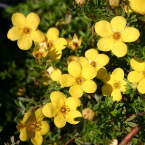 Лапчатка кустарниковая «Kobold» - Potentilla fruticosa «Kobold»