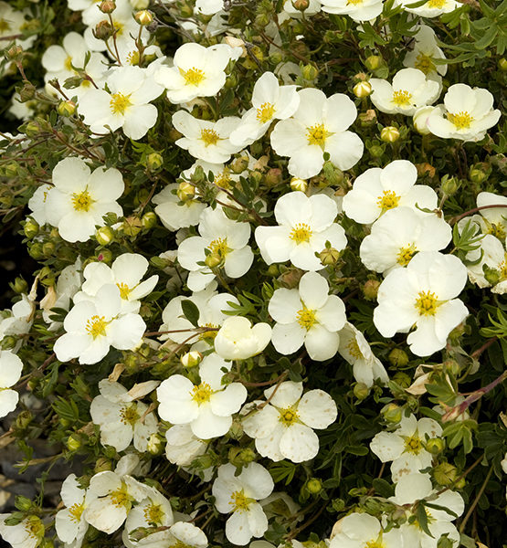 Лапчатка кустарниковая «Mount Everest» - Potentilla fruticosa «Mount Everest»