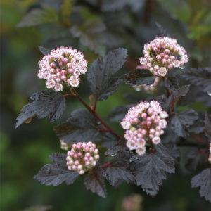 Пузыреплодник калинолистный «Summer Wine» - Physocarpus opulifolius «Summer Wine»