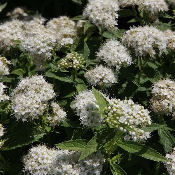Спирея японская «Albiflora» - Spiraea japonica «Albiflora»