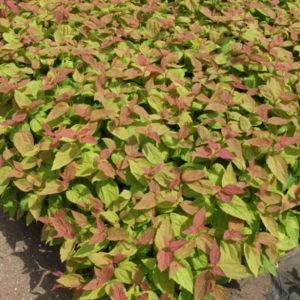 Спирея японская «Macrophylla» - Spiraea japonica «Macrophylla»