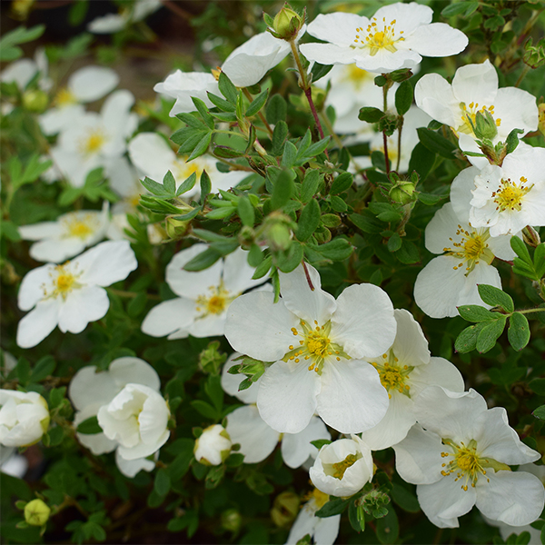 Лапчатка кустарниковая «Abbotswood» - Potentilla fruticosa «Abbotswood»