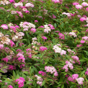 Спирея японская «Anthony Waterer» - Spiraea japonica «Anthony Waterer»