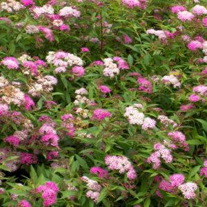 Спирея японская «Anthony Waterer» - Spiraea japonica «Anthony Waterer»