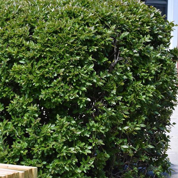 Кизильник блестящий - Cotoneaster lucidus