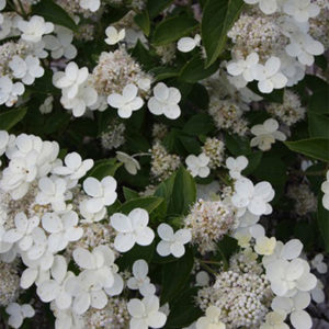 Гортензия метельчатая «Prim White» - Hydrangea paniculata «Prim White»