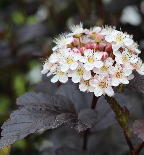 Пузыреплодник калинолистный «Diabolo» - Physocarpus opulifolius «Diabolo»