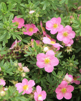 Лапчатка кустарниковая «Lovely Pink» - Potentilla fruticosa «Lovely Pink»