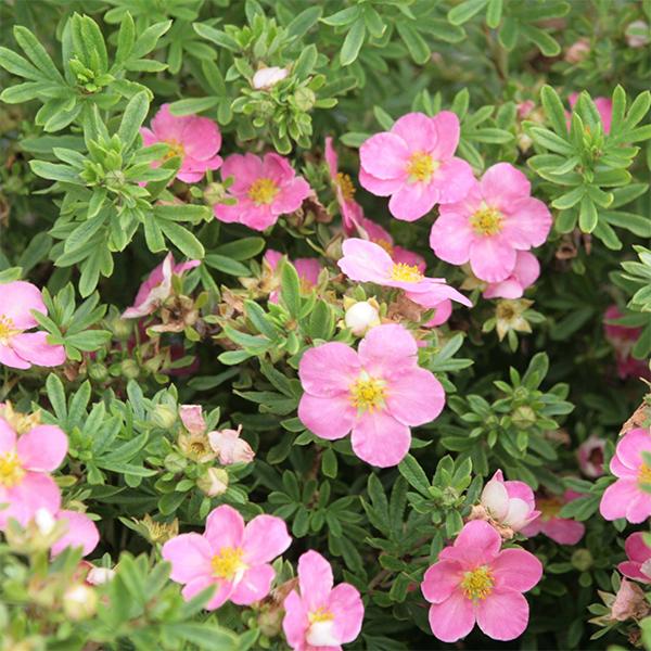 Лапчатка кустарниковая «Lovely Pink» - Potentilla fruticosa «Lovely Pink»
