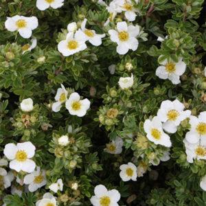 Лапчатка кустарниковая «Tilford» - Potentilla fruticosa «Tilford»
