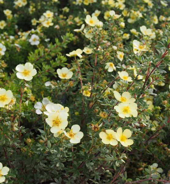 Лапчатка кустарниковая «Tilford Cream» - Potentilla fruticosa «Tilford Cream»