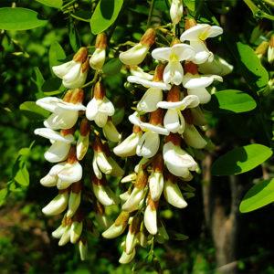 Акация белая - Robinia pseudoacacia