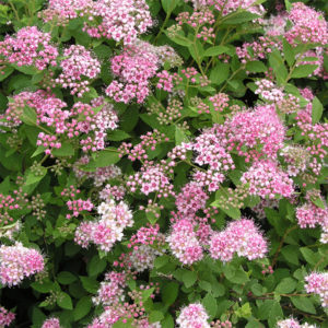 Спирея японская «Little Princess» - Spiraea japonica «Little Princess»