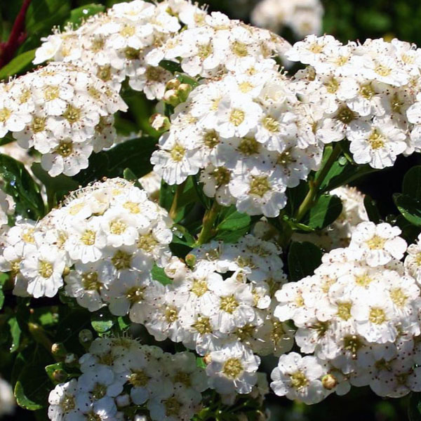Спирея ниппонская «Snowmound» - Spiraea nipponica «Snowmound»