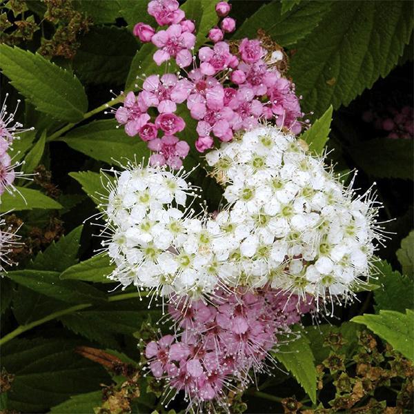 Спирея японская «Genpei» - Spiraea japonica «Genpei»