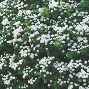 Спирея березолистная - Spiraea betulifolia