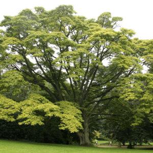 Бархат амурский - Phellodendron amurense
