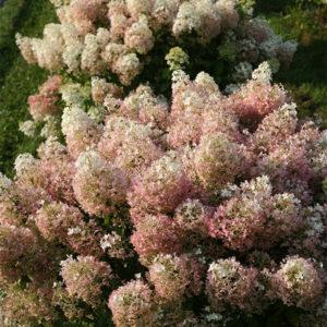 Гортензия метельчатая «Bobo» - Hydrangea paniculata «Bobo»
