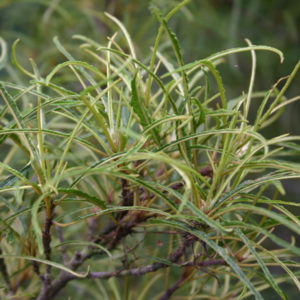 Крушина обыкновенная «Asplenifolia» - Frangula alnus «Asplenifolia»
