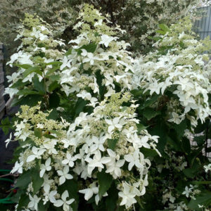 Гортензия метельчатая «Magical Starlight» - Hydrangea paniculata «Magical Starlight»