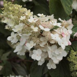 Гортензия метельчатая «Floribunda» - Hydrangea paniculata «Floribunda»