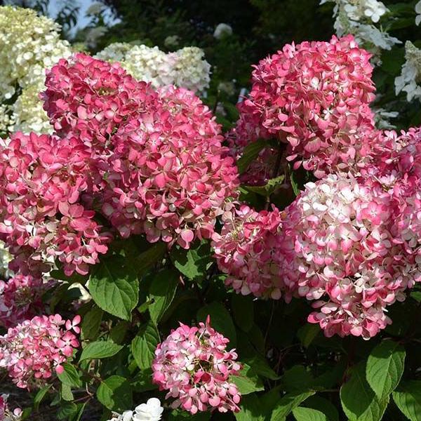 Гортензия метельчатая «Pink Diamond» - Hydrangea paniculata «Pink Diamond»