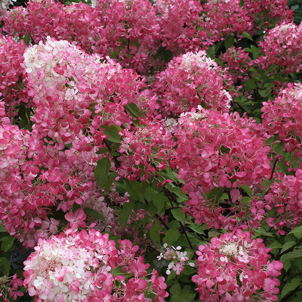 Гортензия метельчатая «Diamant Rouge» - Hydrangea paniculata «Diamant Rouge»