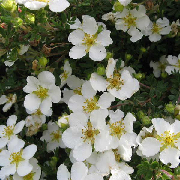Лапчатка кустарниковая «Snowbird» - Potentilla fruticosa «Snowbird»