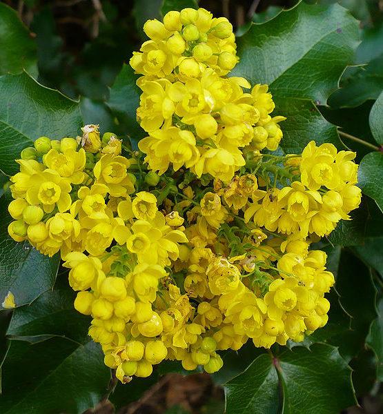 Магония падуболистная - Mahonia aquifolium