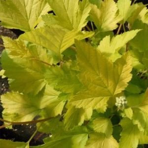 Пузыреплодник калинолистный «Golden Nugget» - Physocarpus opulifolius «Golden Nugget»