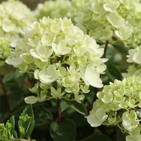 Гортензия метельчатая «Bombshell» - Hydrangea paniculata «Bombshell»