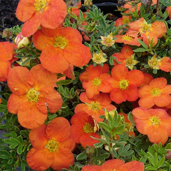 Лапчатка кустарниковая «Tangerine» - Potentilla fruticosa «Tangerine»