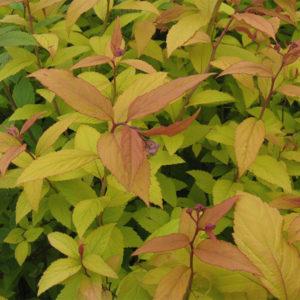 Спирея японская «Goldflame» - Spiraea japonica «Goldflame»