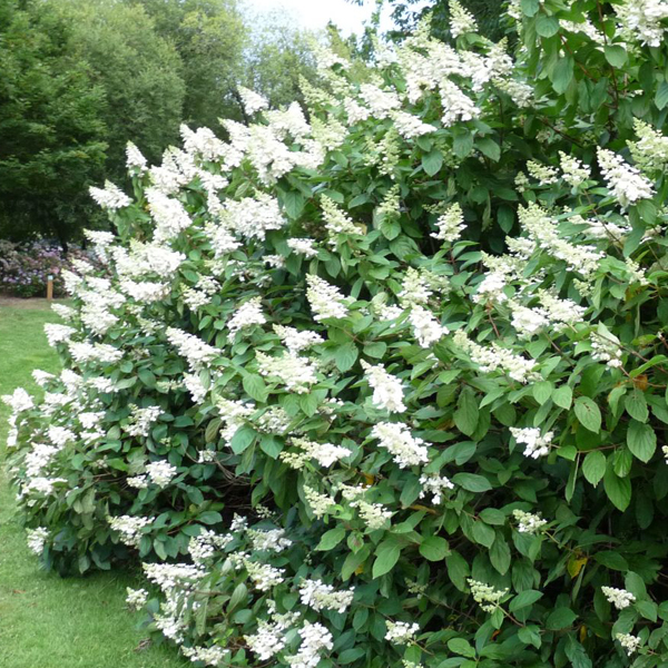 Гортензия метельчатая «Tardiva» - Hydrangea paniculata «Tardiva»