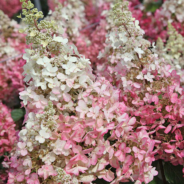 Гортензия метельчатая «Pinky Winky» - Hydrangea paniculata «Pinky Winky»