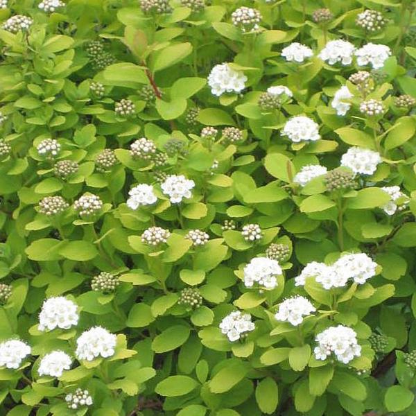 Спирея березолистная «Tor Gold» - Spiraea betulifolia «Tor Gold»