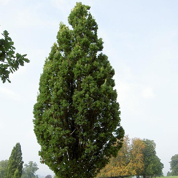 Дуб черешчатый «Fastigiata» - Quercus robur «Fastigiata»