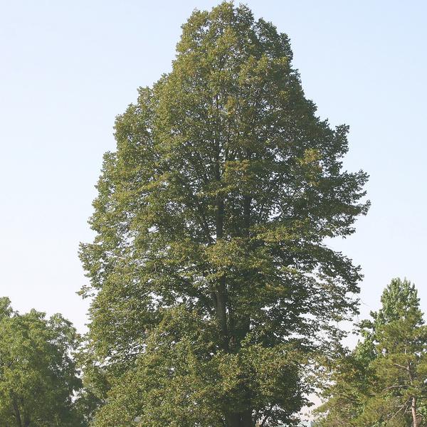 Липа крупнолистная «Fastigiata» - Tilia platyphyllos «Fastigiata»